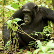 Stock Photo: Gorillfrom Uganda
