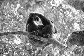 Gorilla sull'albero in bianco e nero — Foto Stock