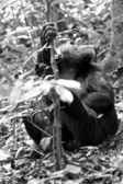Gorilla sits on the ground and looks up in black and white — 图库照片