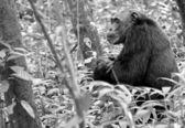 ゴリラが黒と白の地面に座っています。 — ストック写真