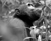 горилла ищет в черно-белом — Стоковое фото