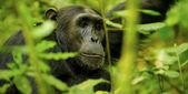 Gorilla in the jungle — Stock Photo