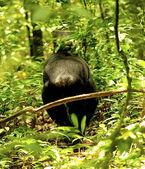 Gorilla walks away — Stock Photo
