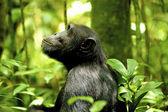 Gorilla alone in the jungle — Stock Photo