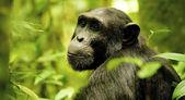 Gorilla poses — Stock Photo