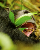 Portrait of a yawning gorilla — Stock Photo