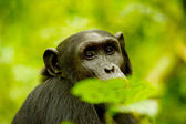 Gorilla behind the leaves — Stock Photo