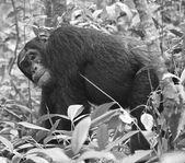 Gorilla walks in black and white — Stock Photo