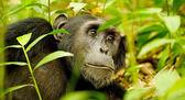 Gorilla among plants — Stock Photo