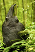 Gorilla plays with a tree — Stock Photo
