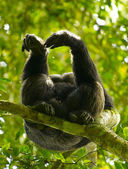 Gorilla on the branch of the tree — Stock Photo