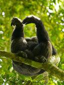 Gorilla sul ramo dell'albero — Foto Stock