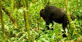 Gorilla walks — Stock Photo