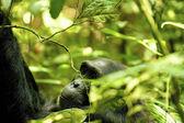 Gorilla hides — Stock Photo
