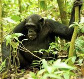 Gorilla holds the tree — Stock Photo