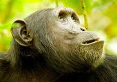 Gorilla head — Stock Photo