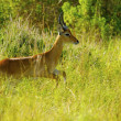 Antelope jumps in the grass — Stock Photo