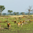 Flock of the antelopes in Africa — Foto Stock