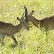 Fight of the two antelopes — Foto de Stock