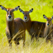 Antelopes walk together — Stock Photo