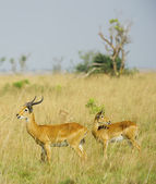 Two antelopes looks different ways — Foto de Stock