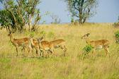 Un antilope è fuori del gregge — Foto Stock