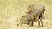 Twee wilde varkens — Stockfoto