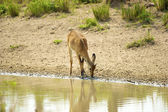Antelope drinks water from the river — Stok fotoğraf