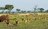 Flock of the antelopes in Africa — Stock Photo