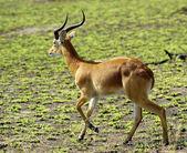 Antilope da solo — Foto Stock