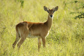 Antelope stays in the grass — Stock Photo