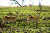 Two antelopes in Africa — Stock Photo