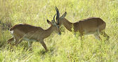 Fight of the two antelopes — Stock Photo