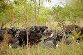 Flock of buffalos — Stock Photo