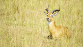 Antelope lays on the ground — Stockfoto