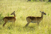 Two antelopes together — Stock Photo