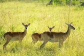 Three antelopes — Stock Photo