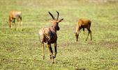 Field of antelopes — Stock Photo