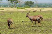 Antelopes — Stock Photo