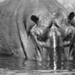 Hippopotamus looks out of the water - Stock Photo
