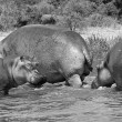 Group of African hippopotamus - Stock Photo
