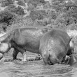 Royalty-Free Stock Photo: Black and white, Hippopotamus in Africa