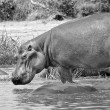 Royalty-Free Stock Photo: Hippopotamus from Africa