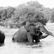 Elephants take shower in the water - Stock Photo