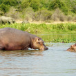 Hippopotamus in Africa — Stock Photo