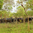 Flock of buffalos in Africa - Stock Photo