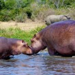 Royalty-Free Stock Photo: Hippopotamus kiss each other