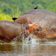 Stock Photo: Hippopotamus enter into water and birds on theit backs