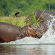 Hippopotamus enters into the water and a bird flies away of his back - Stock Photo