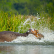 Hippopotamus jumps in the water - Stock Photo